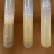 Suspensions with large particles are difficult to stabilise, in this image we see three different dilutions which have all undergone settling.